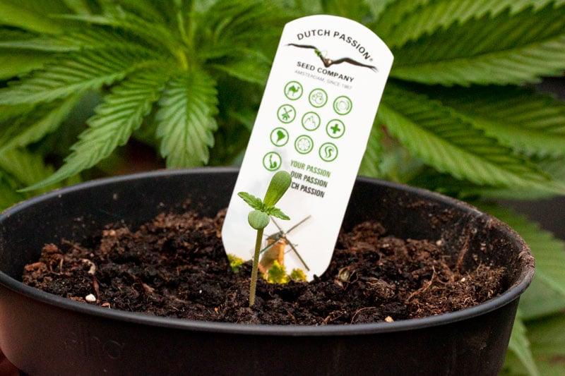Planta de uma semente compra nos seeds banks - Créditos Dutch Passion