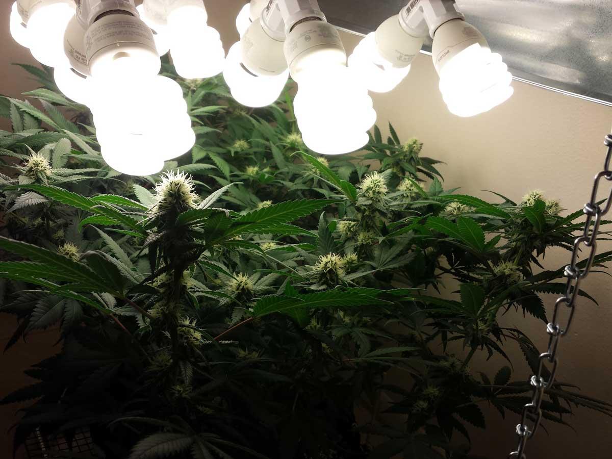 Imrpovise seu grow para ter um cultivo barato de maconha - Grow Weed Easy