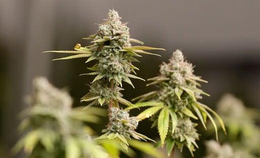 Cannabis strains ricas em Limoneno - Dallas Morning show (1)