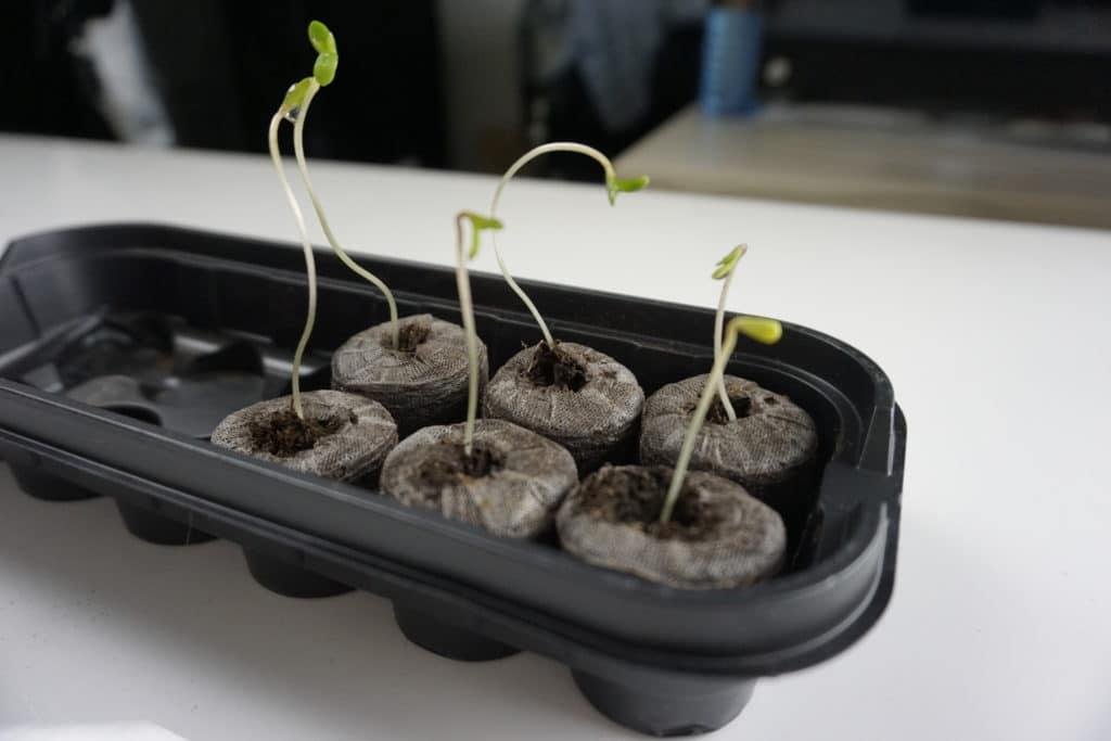Germinando sementes de maconha na célula - Créditos How to Marijuana