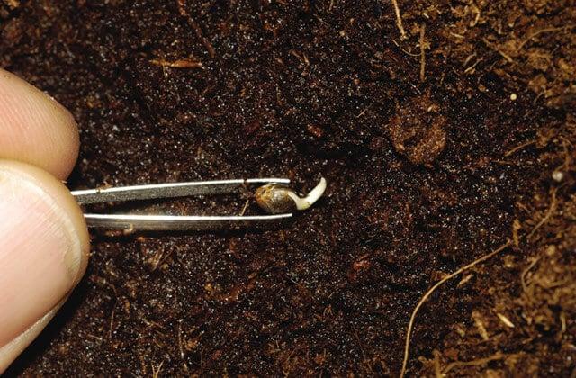 Rádicula na germinação de sementes de maconha - High TImes (1)