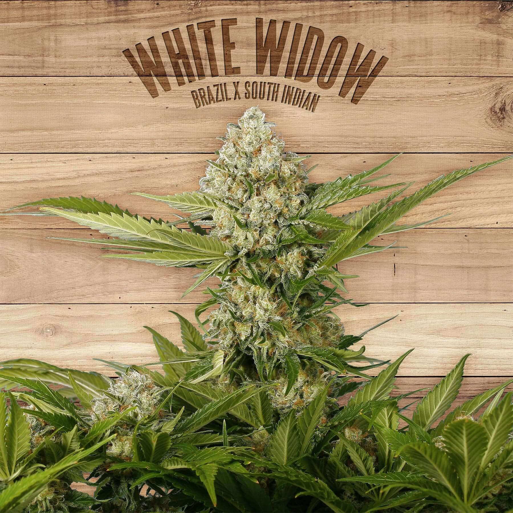 White Widow - Kannabia Seed Company (1)