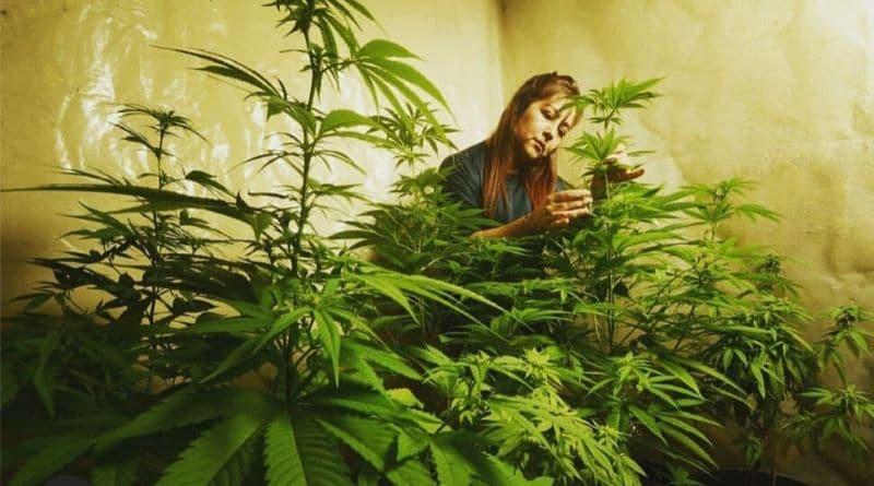 cida carvalho cuidando das suas plantas de maconha na associação canábica