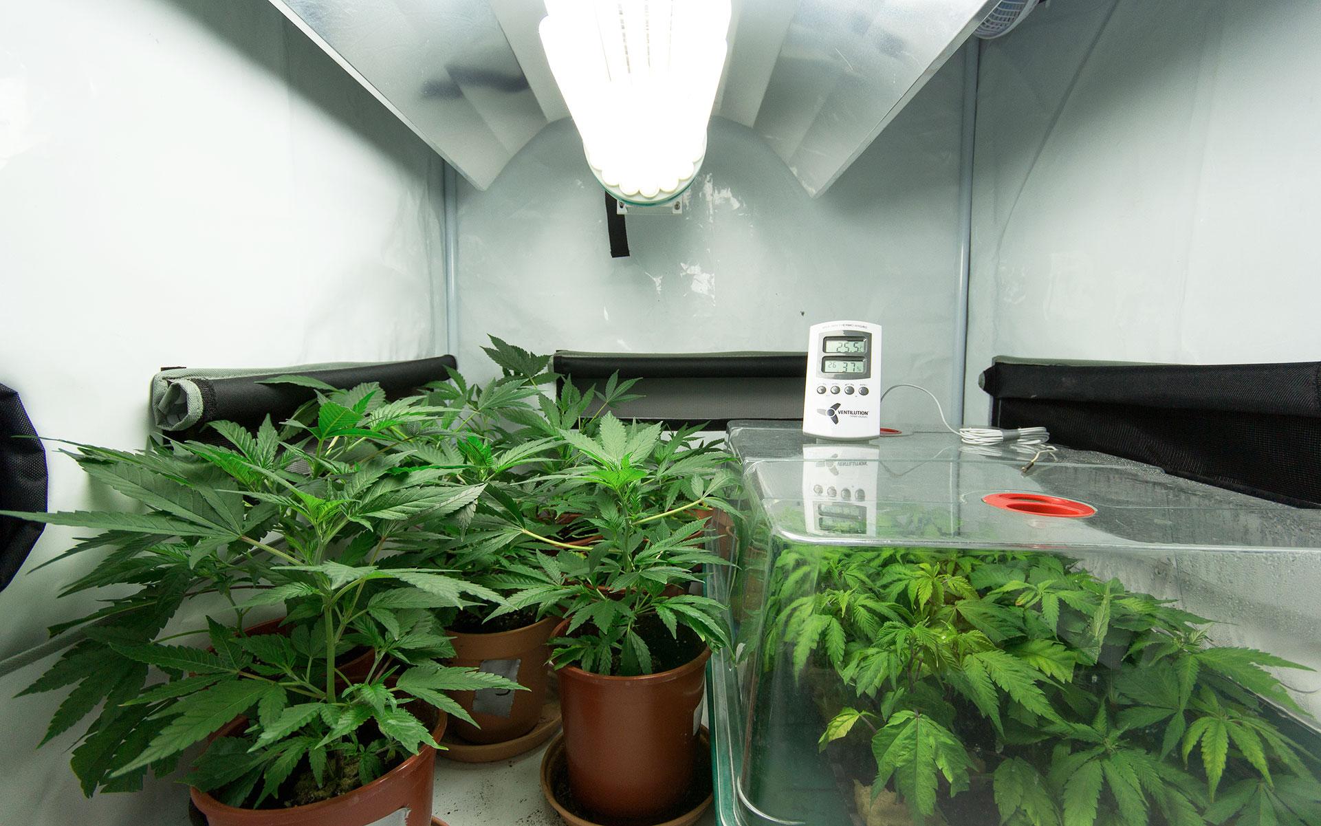 cultivo caseiro indoor de maconha - MJPure Play