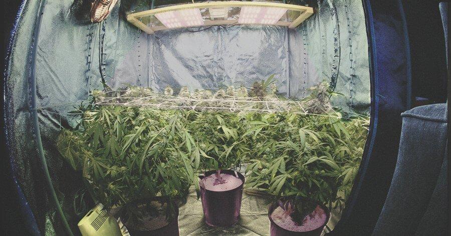 retrospectiva Growroom maconha 2020