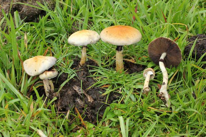 Cogumelos mágicos crescendo