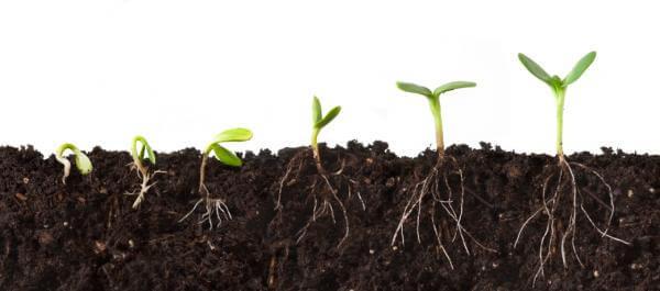 germinação de sementes de maconha na terra - Centurion Pro (1)