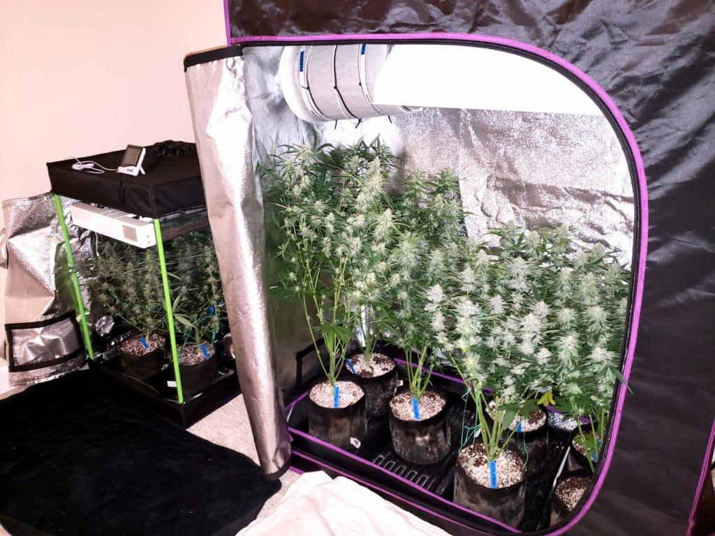 estufa de cultivo indoor de maconha