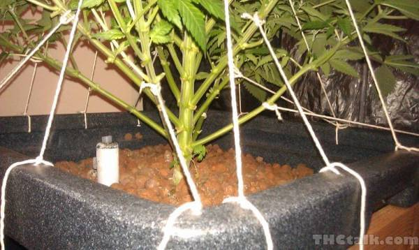 Low Stress Trainning no cultivo de cannabis - THC Talk