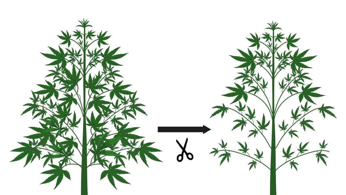 Defoliação maconha - Fast Buds (1)