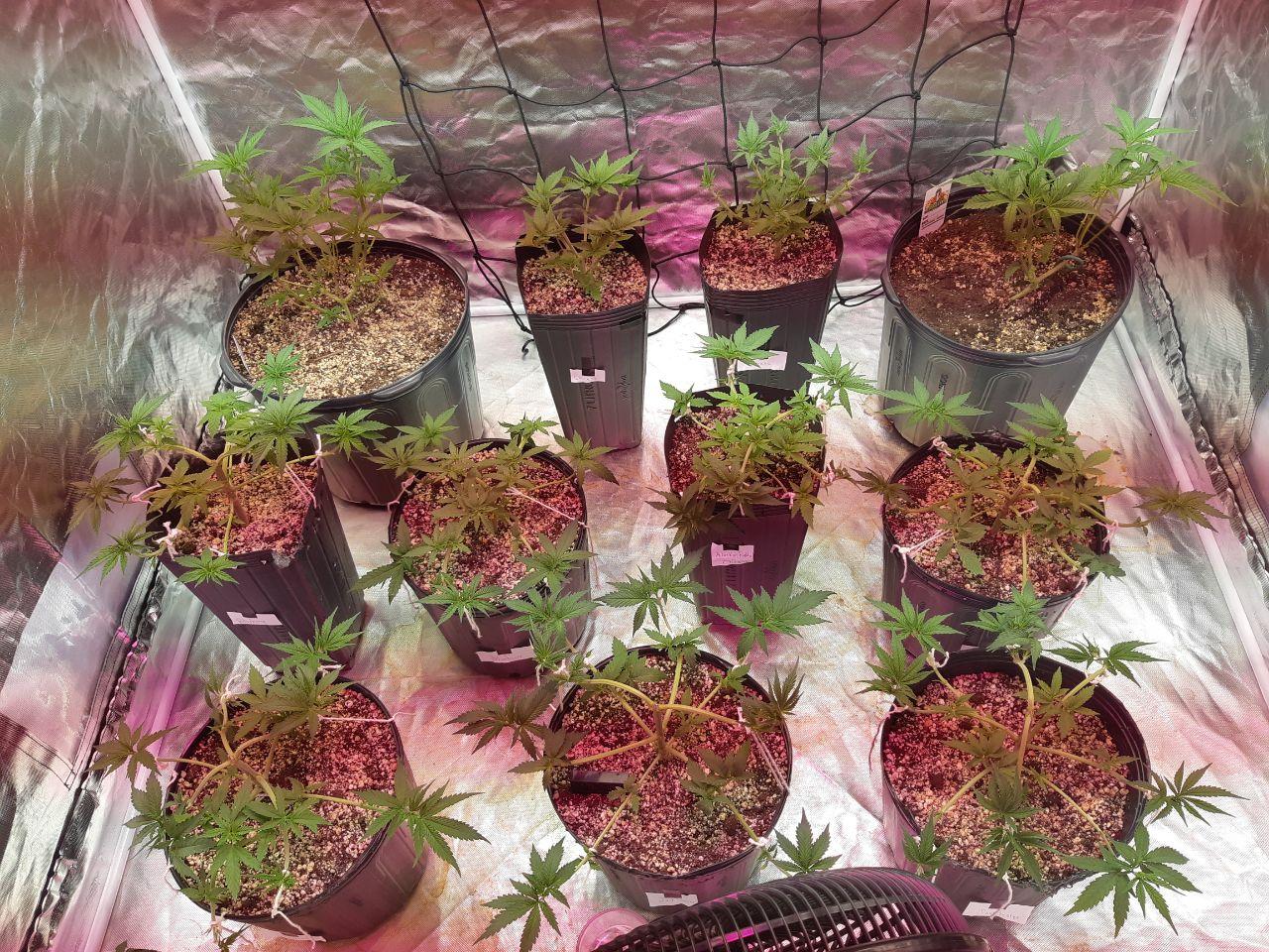 Defoliação no vegetativo - GRHS